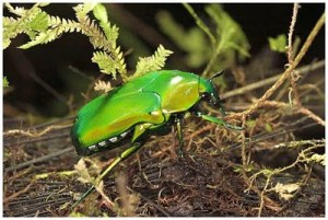 https://merlung.files.wordpress.com/2011/04/an-iridescent-beetle-mount-bosavi-amazing-pictures-nature.jpg?w=300